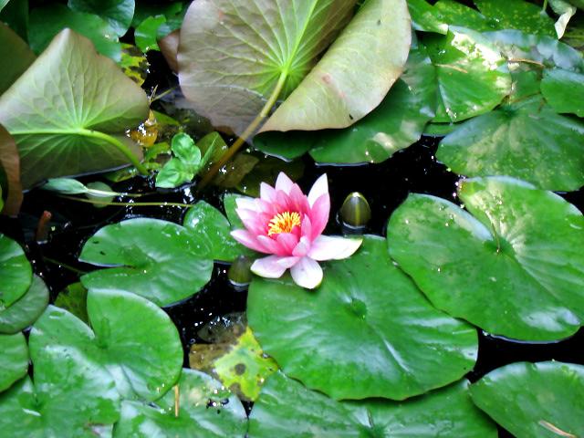 fleur de lotus dans le Jardin à l'ashram Kriya Yoga de Sterksel Hollande
