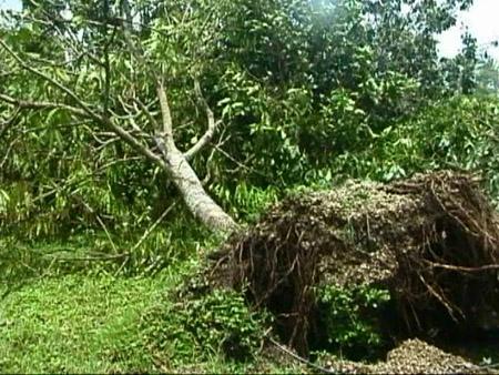 Arbre arraché lors du cyclone à Miami l'ashram de Baba à Homestead, Floride, USA
